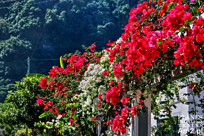 kwiaty madery
